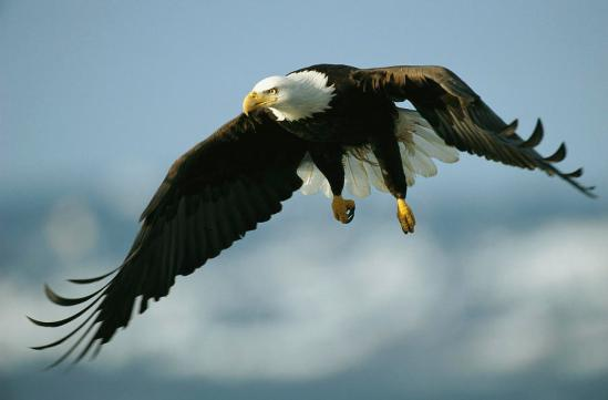 8-an-american-bald-eagle-in-flight-klaus-nigge